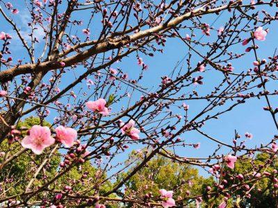 【 桜🌸の開花発表が待ちどおしい..】