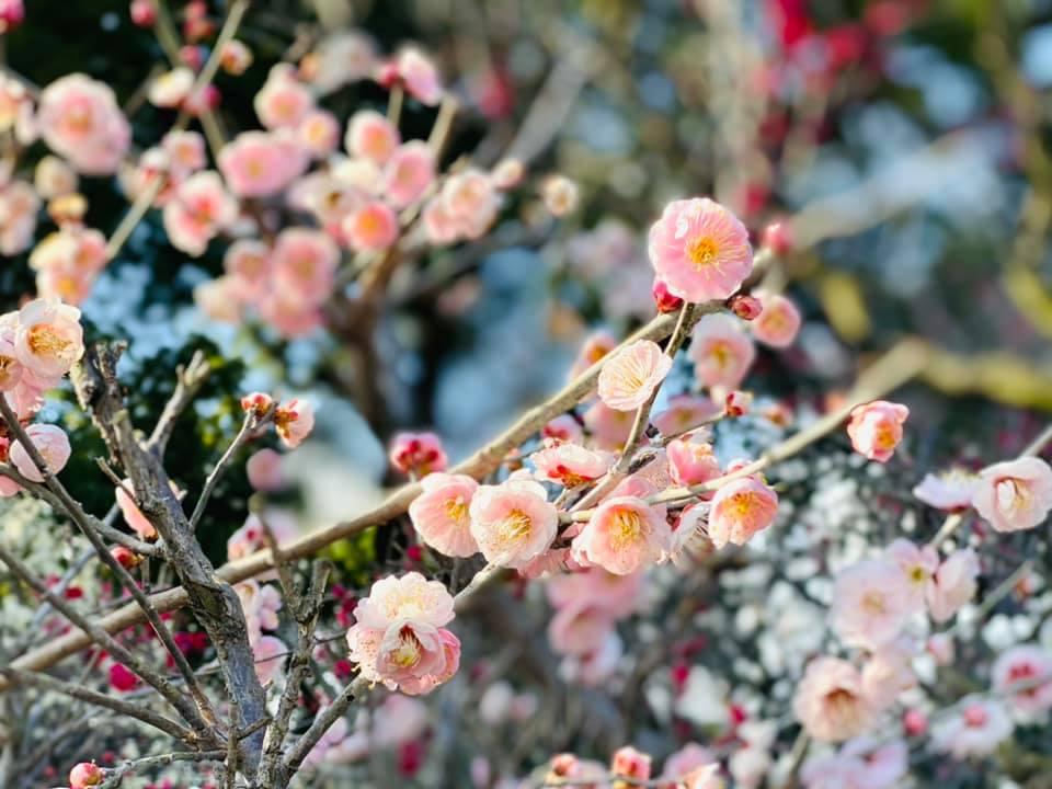 【 梅の花を満喫v 】